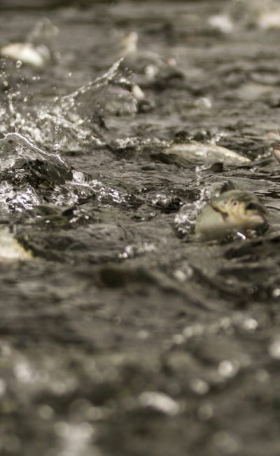THE SALMON INDUSTRY IN CHILE